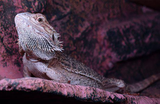 Bearded Dragon, Spur, Head, Pogona Vitticeps, Lizard