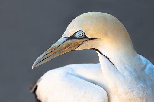 Cape Gannet, Bird, Seabird, Avian, White, Nature