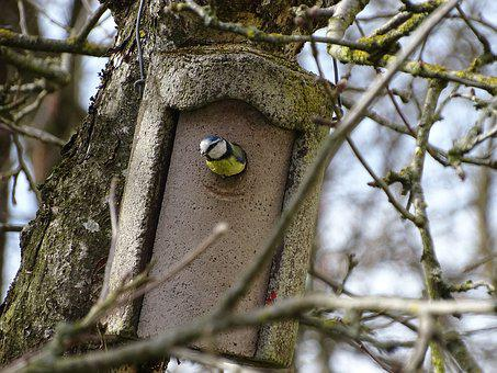 Blue Tit, Nest Building, Bird Box, Tit, Bird, Songbird