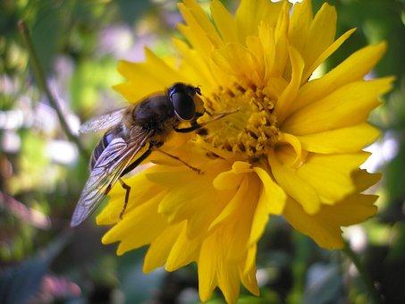 Nature, Bug, Bees, Summer, Kegelbijvlieg, Flower