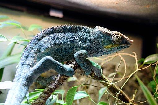 Chameleon, Panther Chameleon, Scale, Schuppenkriechtier