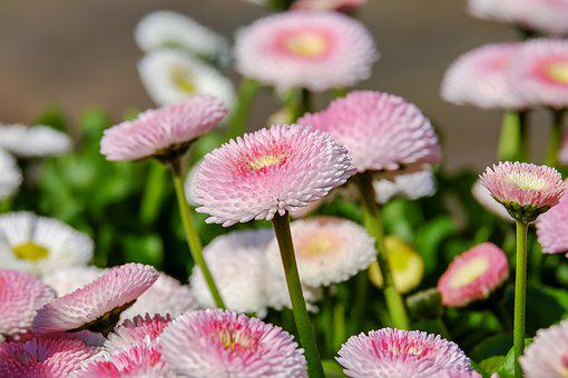 Daisy, Double Flower, Flowers, Bloom, Pink-and-white