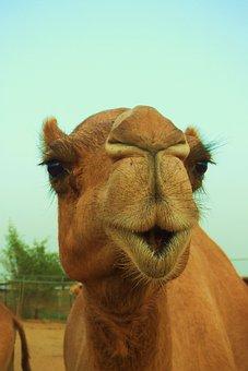 Animal, Mammal, Nature, Camel, Wildlife, Dubai, Desert