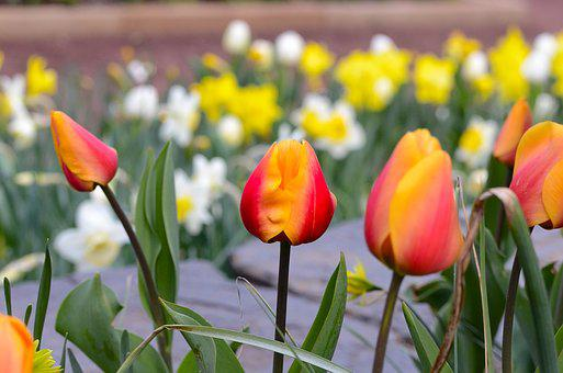 Tulip, Flower, Nature, Garden, Flora, Orange, Yellow
