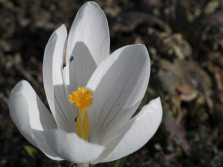 Crocus, Flower, Blossom, Bloom, Nature, Flora, Plant
