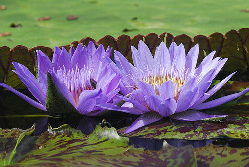 Puddle, Lotus, Flower, Plant, Water Lily, Purple, Money