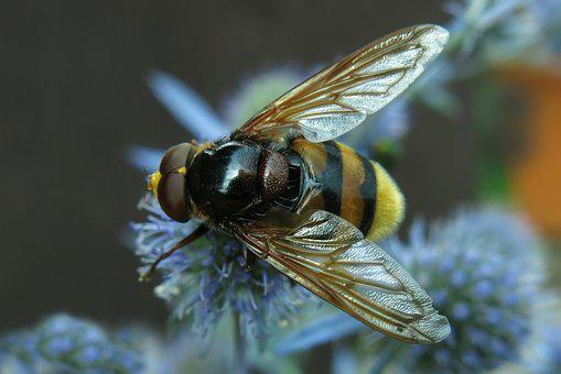 Hover Fly, Hornet Hover Fly, Forest Schwebefliege