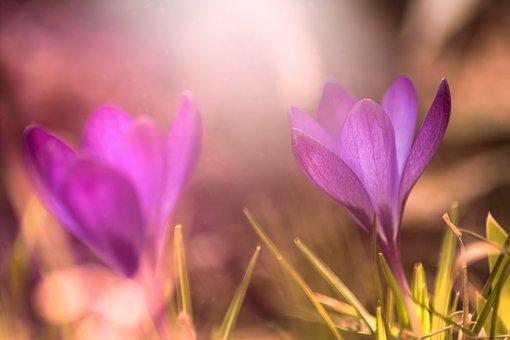 Crocus, Nature, Flower, Plant, Grass, Season, Close