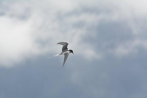 Birds, Animal Life, Nature, Flight, Himmel, Gull