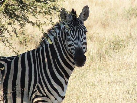 Zebra, Wildlife, Safari, Animal, Nature, Head, Mane