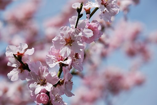 Japanese Cherry Trees, Blossom, Tree, Japanese Cherry