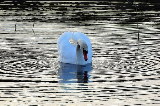 Lake, Nature, The Wave Is Reflected, Birds, Swan