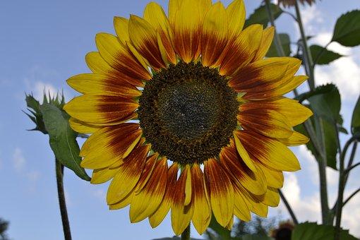 Plant, Nature, Flower, Summer, Leaf, Sun Flower, Bright