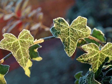 Leaf, Flora, Fall, Nature, Ivy, Closeup