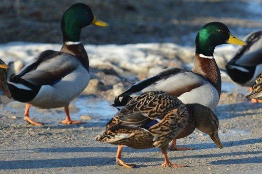 Duck, Birds, Mallard, Nature, Animal Life, Drake