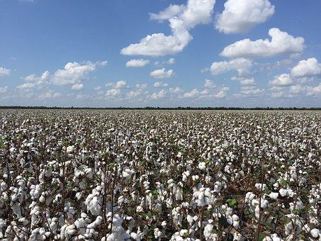 Cotton, Outdoors, Nature, Flora, Plant, Natural