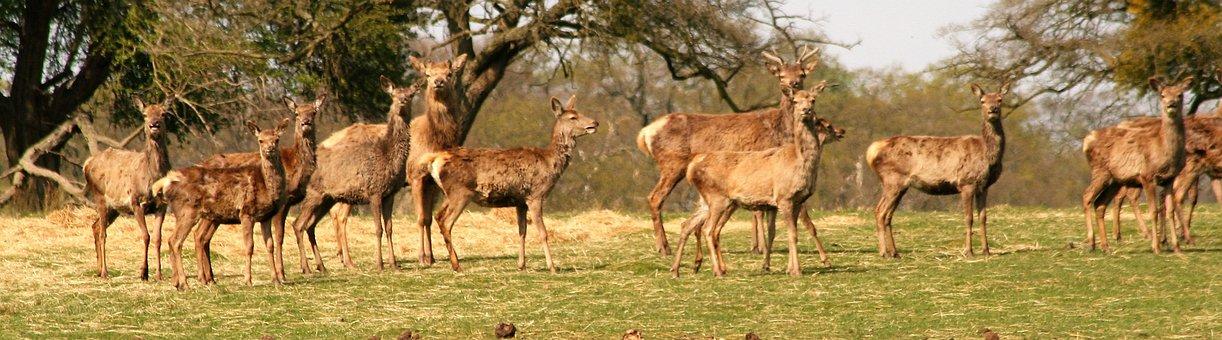 Animal, Wildlife, Mammal, Grass, Nature, Deer, Field