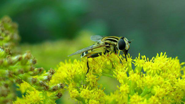 Swamp Fly, Great Swamp Fly, Nature, Insect