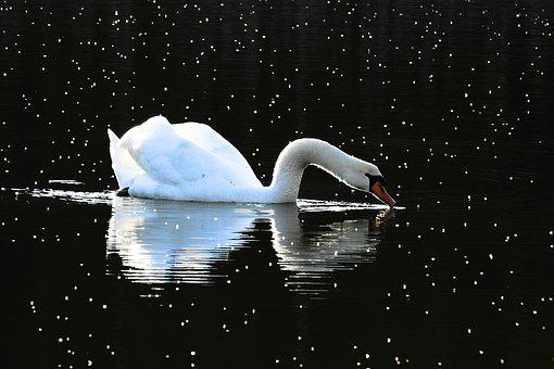 Birds, Nature, The Wave Is Reflected, Swan, Sunset