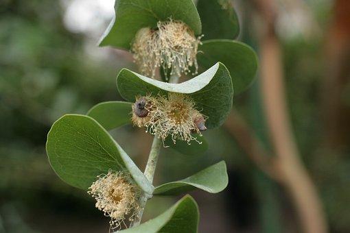Eucalyptus Pulverulenta, Pollinated Eucalyptus