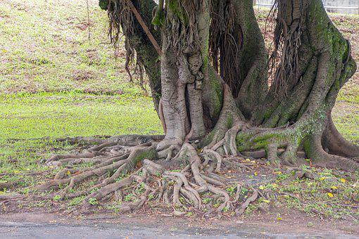 Tree, Nature, Wood, Root, Plant, Figueira, Garden