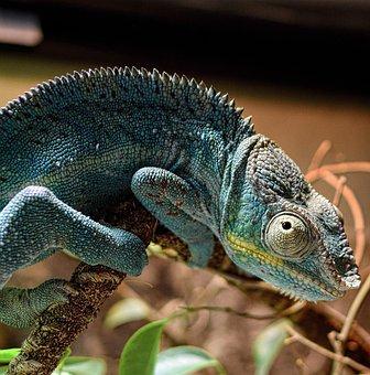 Chameleon, Panther Chameleon, Schuppenkriechtier, Scale