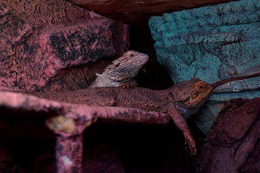 Bearded Dragons, Agame, Tired, Terrarium
