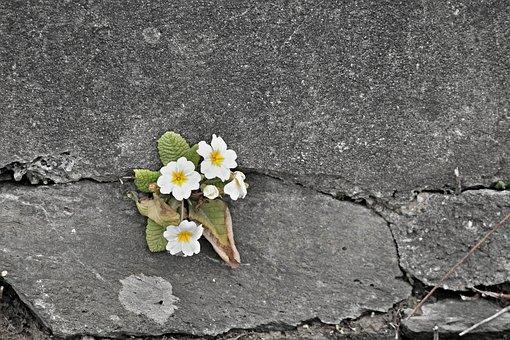 Primrose, White, Wall, Wall Flower, Stone Wall, Flowers