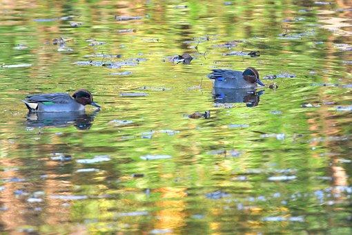 Bird, Pond, Duck, Waters, Wild Animals, Teal