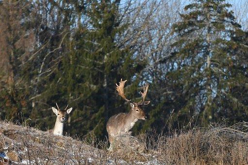 Nature, Wood, Deer, Tree, Outdoor, Animal Life, Animals