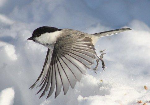 Poecile Montanus Kittila, Bird, Flying, Flight