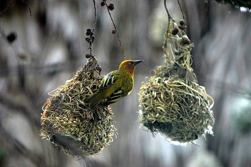 Swallow, Bird, Feathered, Bird Nests
