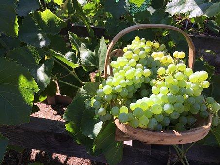 My Garden, Garden, Grapes, Vineyard, Nature, Bloom