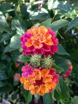 Lantana, Ornamental Plant, Lantana Camara, Blossom