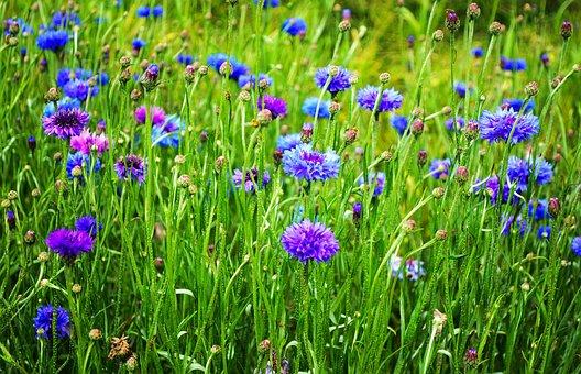 Beauty, Blossom, Bluebottle, Bud, Cornflower
