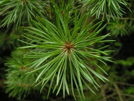 Conifer, Trees, Green, Leaves, Branches, Stems
