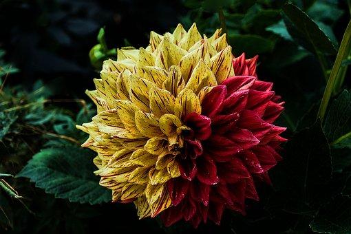 Flower, Dahlia, Flower Garden, Ornamental Flower