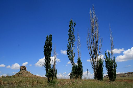 Four Poplars, Tall, Scragly, Thin, Veld, Outcrop, Sky
