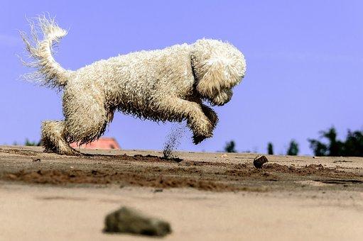 Golden Doodle, Dog, Play, Water, Animal, Beach