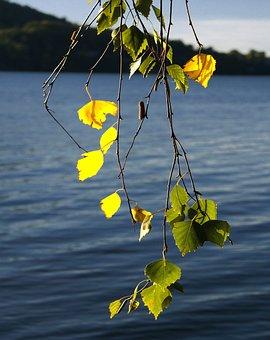 Birch, Foliage, Twigs, Summer, Green, Yellow, Tree
