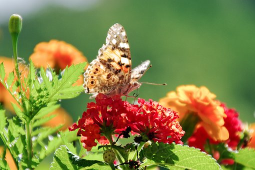 Flowers, Lantana, Butterfly, Colors, Silhouette, Moth