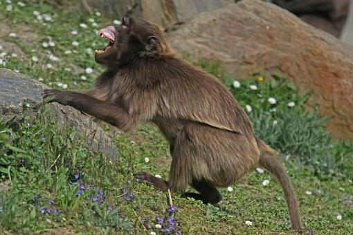 Dschelada, Threatening, Primate, Monkey, Creature