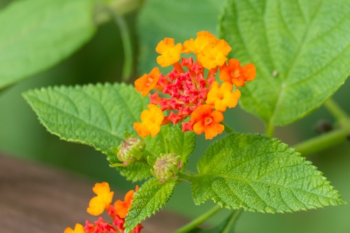 Plant, Flower, Close-up, Nature, Lantana
