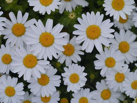 Daisy, Margaret, Countless, Gregariousness, One Side