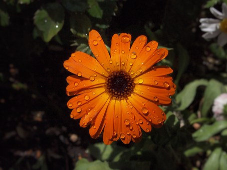 Orange Color, Flowers, Chrysanthemum, Green, Rain
