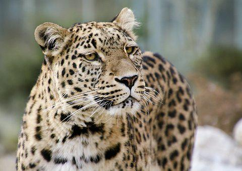 Leopard, Persian Leopard, Portrait, Close Up, View