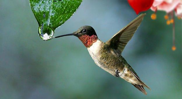 Water, Drop, Plant, Beija Flor, Colibri, Nature