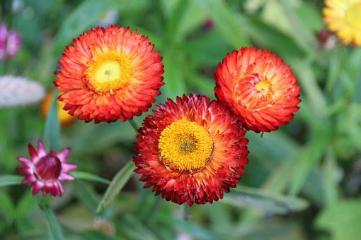 Flowers, Red, Yellow, Straw Flowers, Flowers Flowers