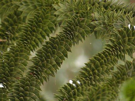 Araucana, Fir, Tree, Road, Branches, Araucaria