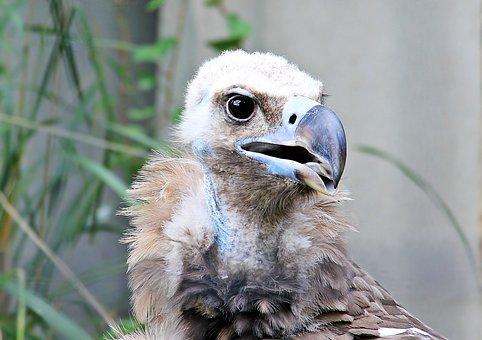 Vulture, Raptor, Bird, Bird Of Prey, Scavengers